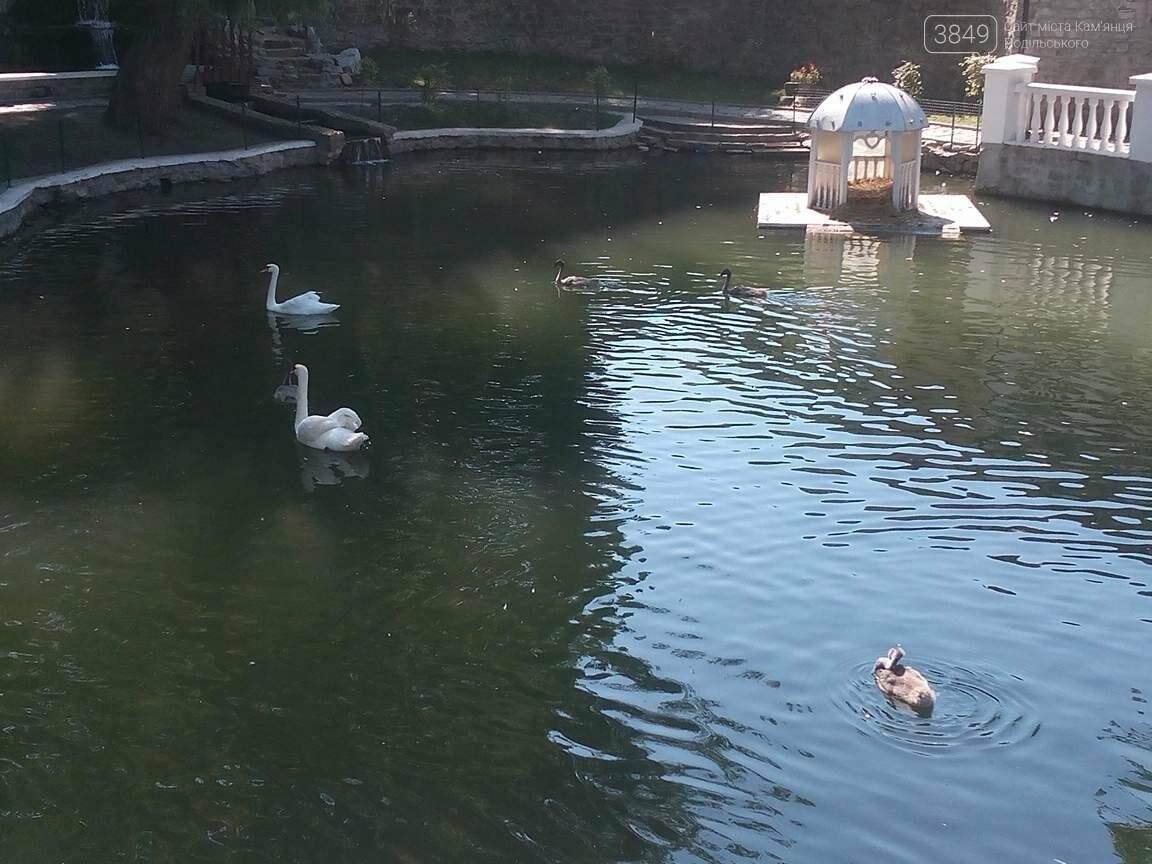 Чорне та біле: як почуваються лебеді на Лебединому озері в Кам`янці, фото-5