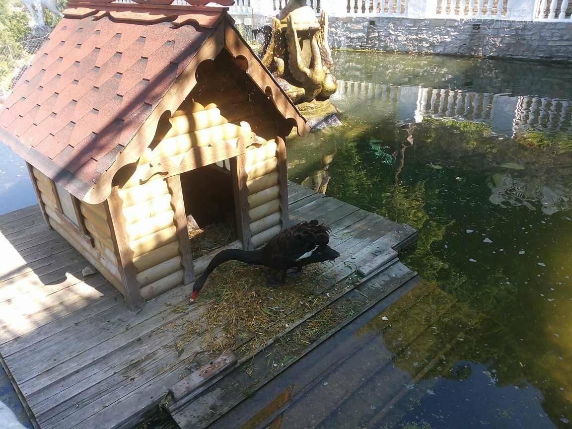 Чорне та біле: як почуваються лебеді на Лебединому озері в Кам`янці, фото-9