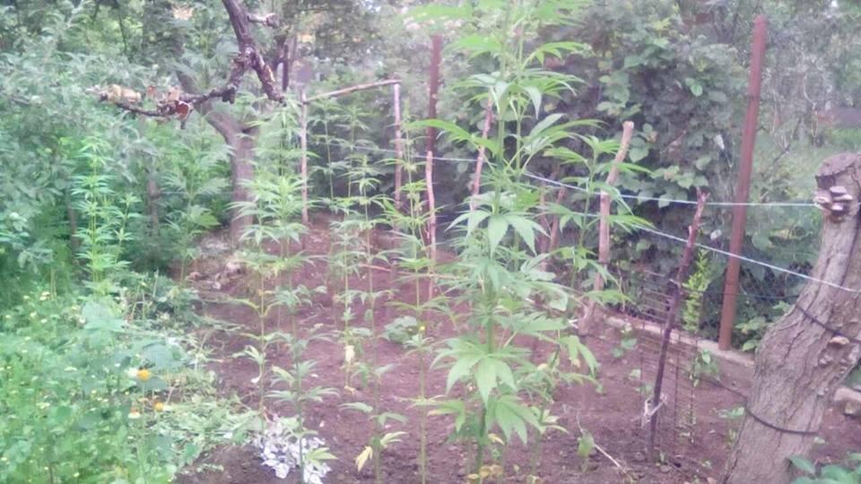 Кам'янчанка вирощувала на городі коноплю, фото-1