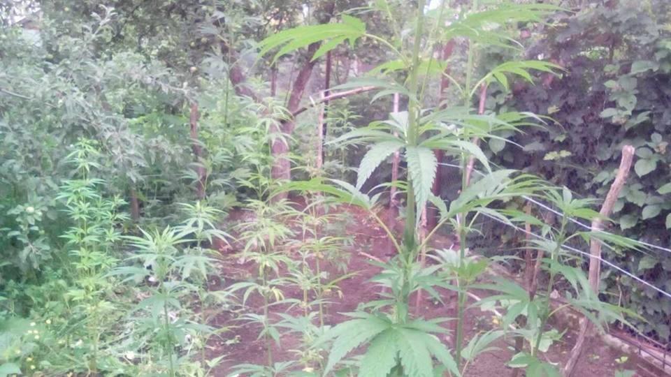 Кам'янчанка вирощувала на городі коноплю, фото-2
