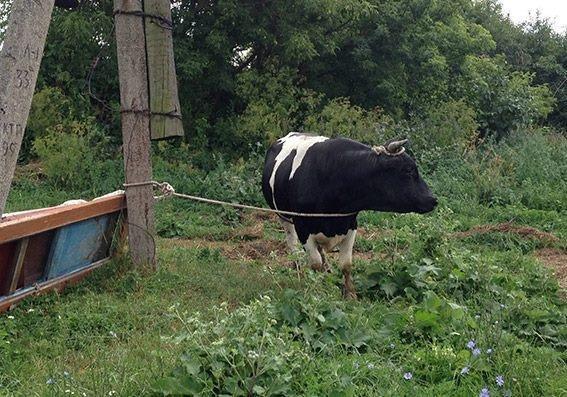 На Хмельниччині поліцейські по «гарячих слідах» розкрили крадіжку худоби, фото-2