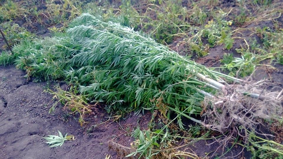 У Чемеровецькому районні виявлено незаконне вирощування наркотичних рослин, фото-1