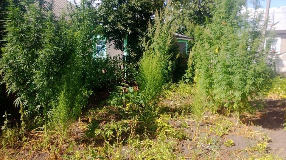 У Чемеровецькому районні виявлено незаконне вирощування наркотичних рослин, фото-2