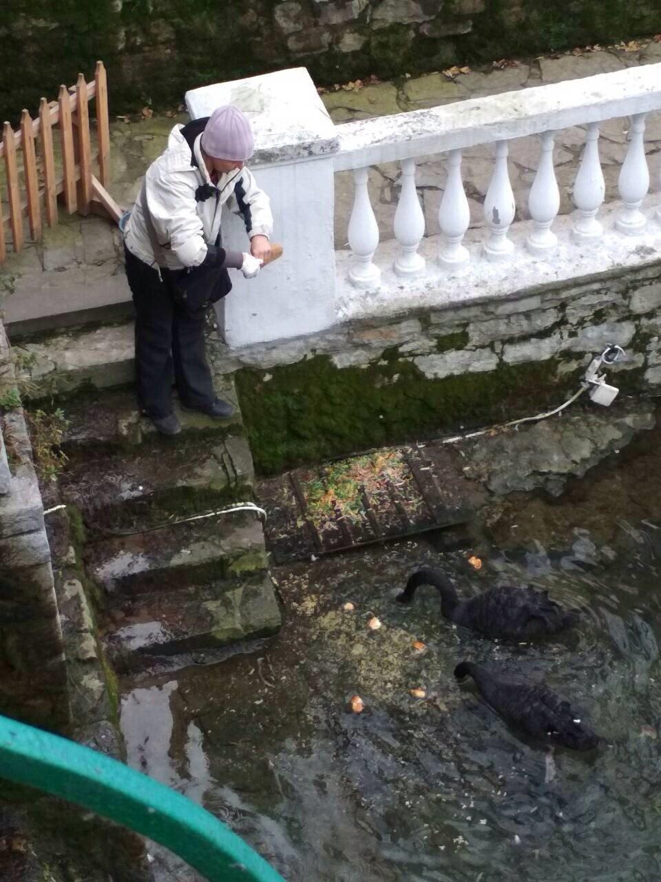 Кам'янчани скаржаться, що лебедів недогодовують, фото-1