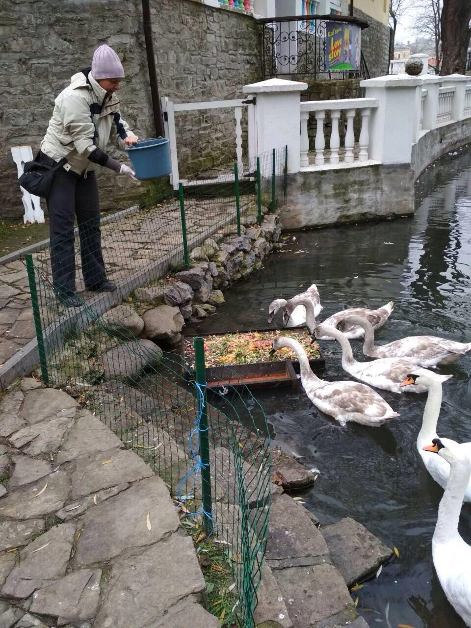 Кам'янчани скаржаться, що лебедів недогодовують, фото-4