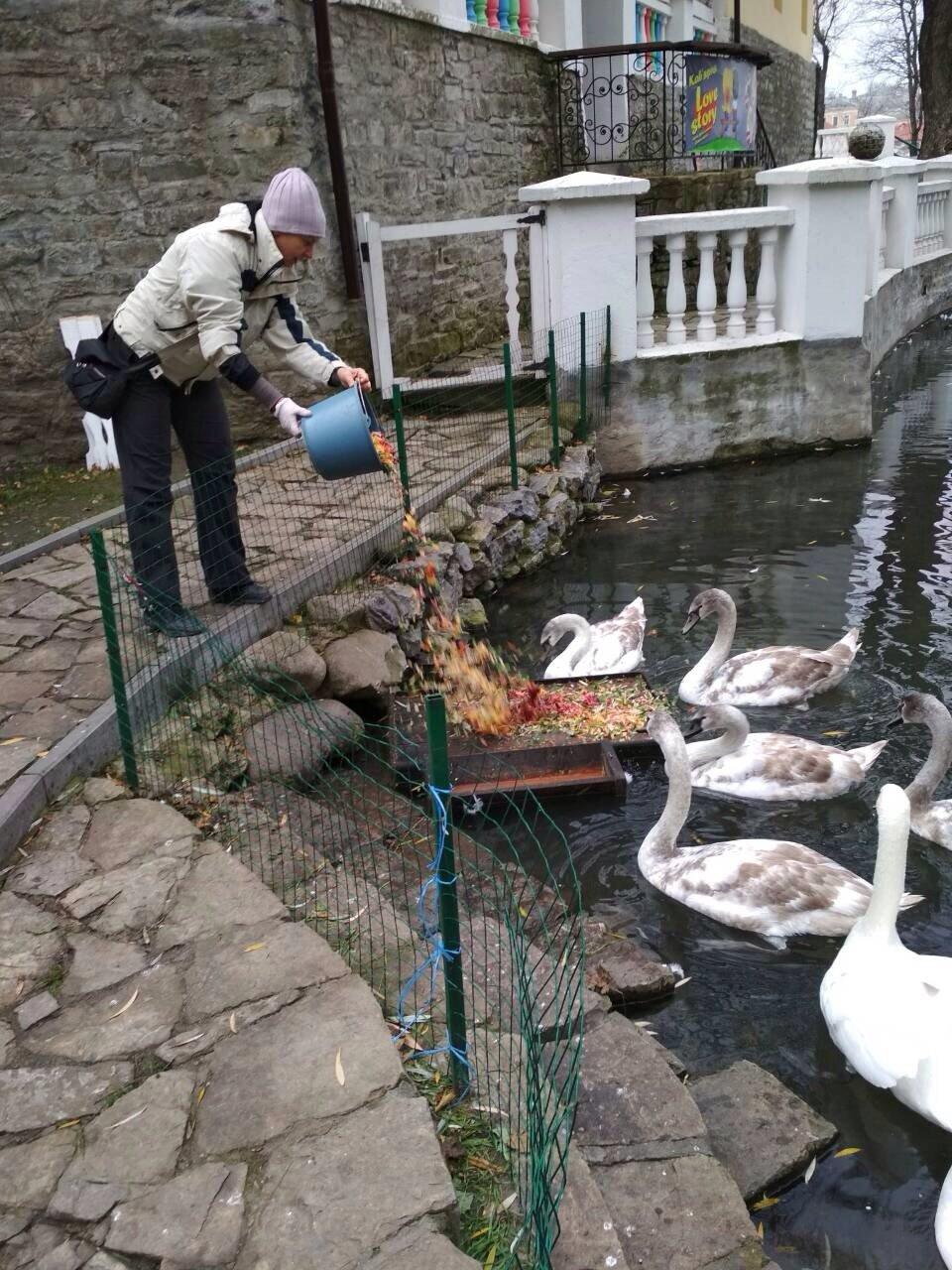 Кам'янчани скаржаться, що лебедів недогодовують, фото-5