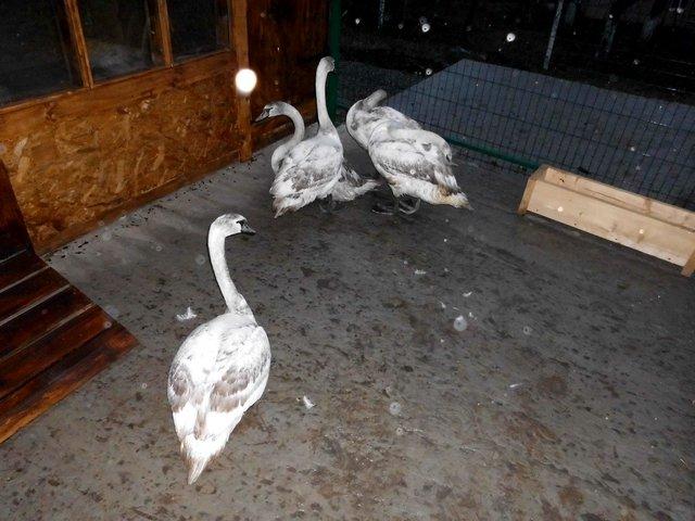 Кам'янецькі лебеді отримали нову домівку, фото-1