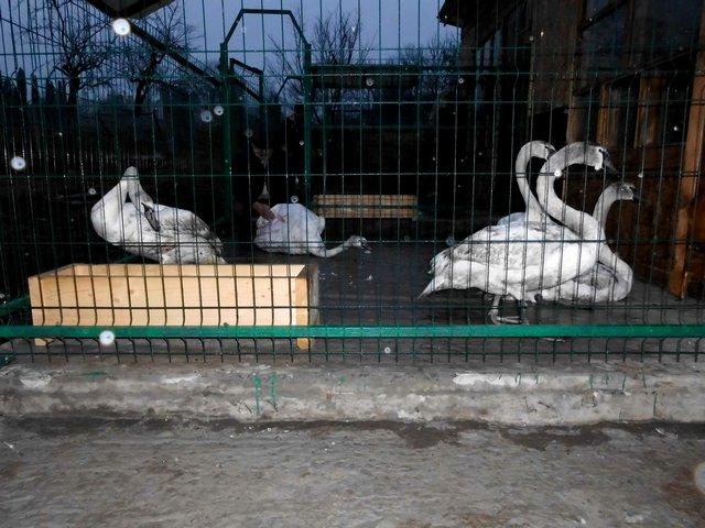 Кам'янецькі лебеді отримали нову домівку, фото-3