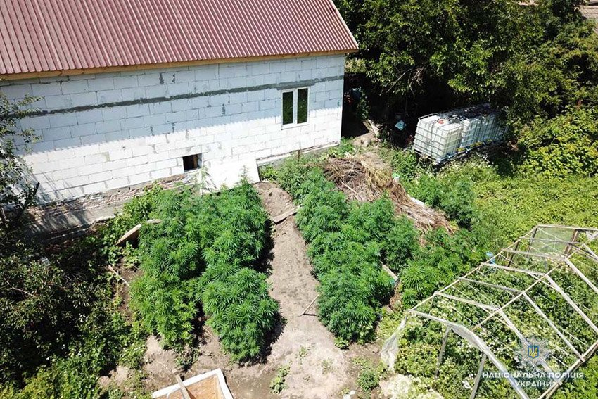 У подвір'ї 48-річного хмельничанина поліцейські виявили 250 кущів коноплі, фото-1
