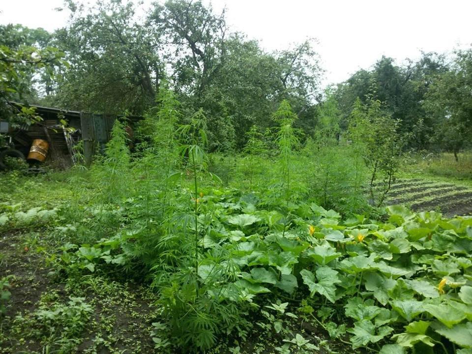 Гарбузи, кукурудза, конопля, або Що вирощують у селах Кам'янеччини, фото-1