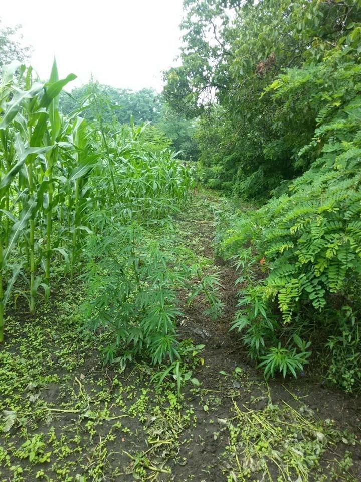 Гарбузи, кукурудза, конопля, або Що вирощують у селах Кам'янеччини, фото-3