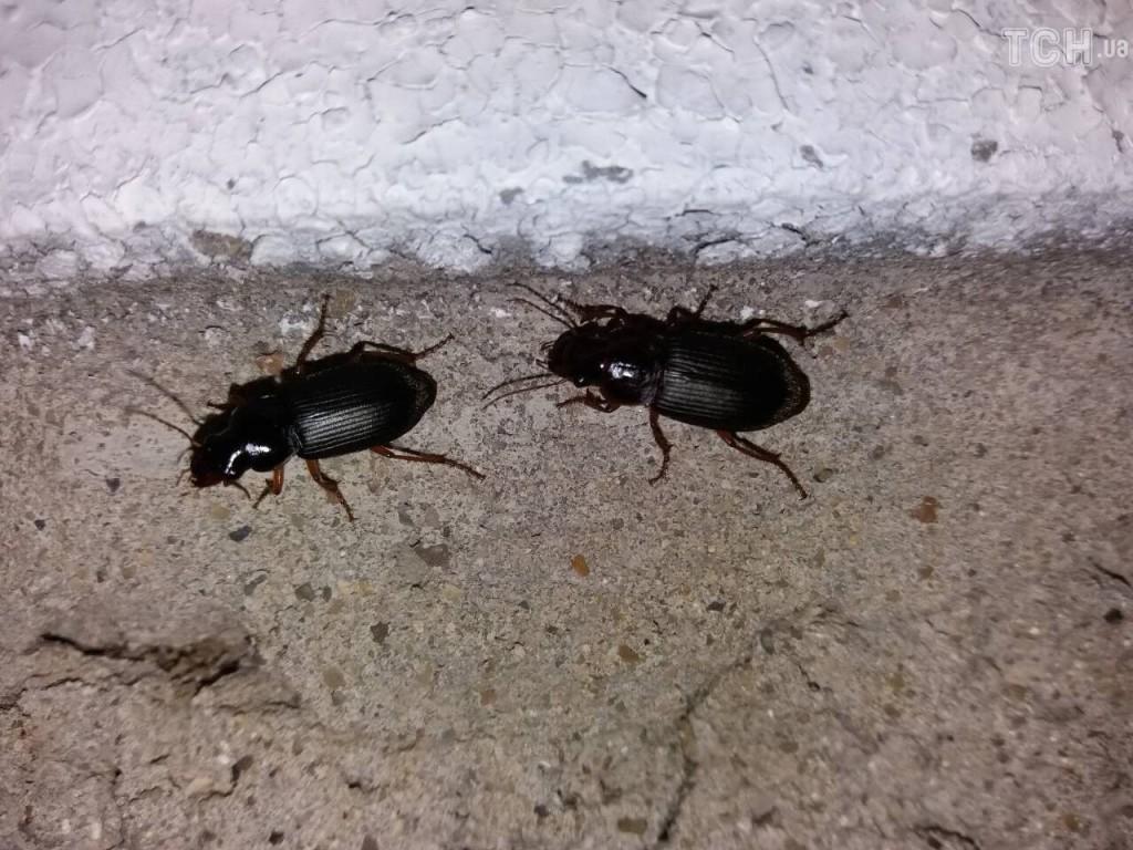 Нашестя чорнокрилих жуків на Хмельниччині: життя хмельничан перетворилося на пекло, фото-2