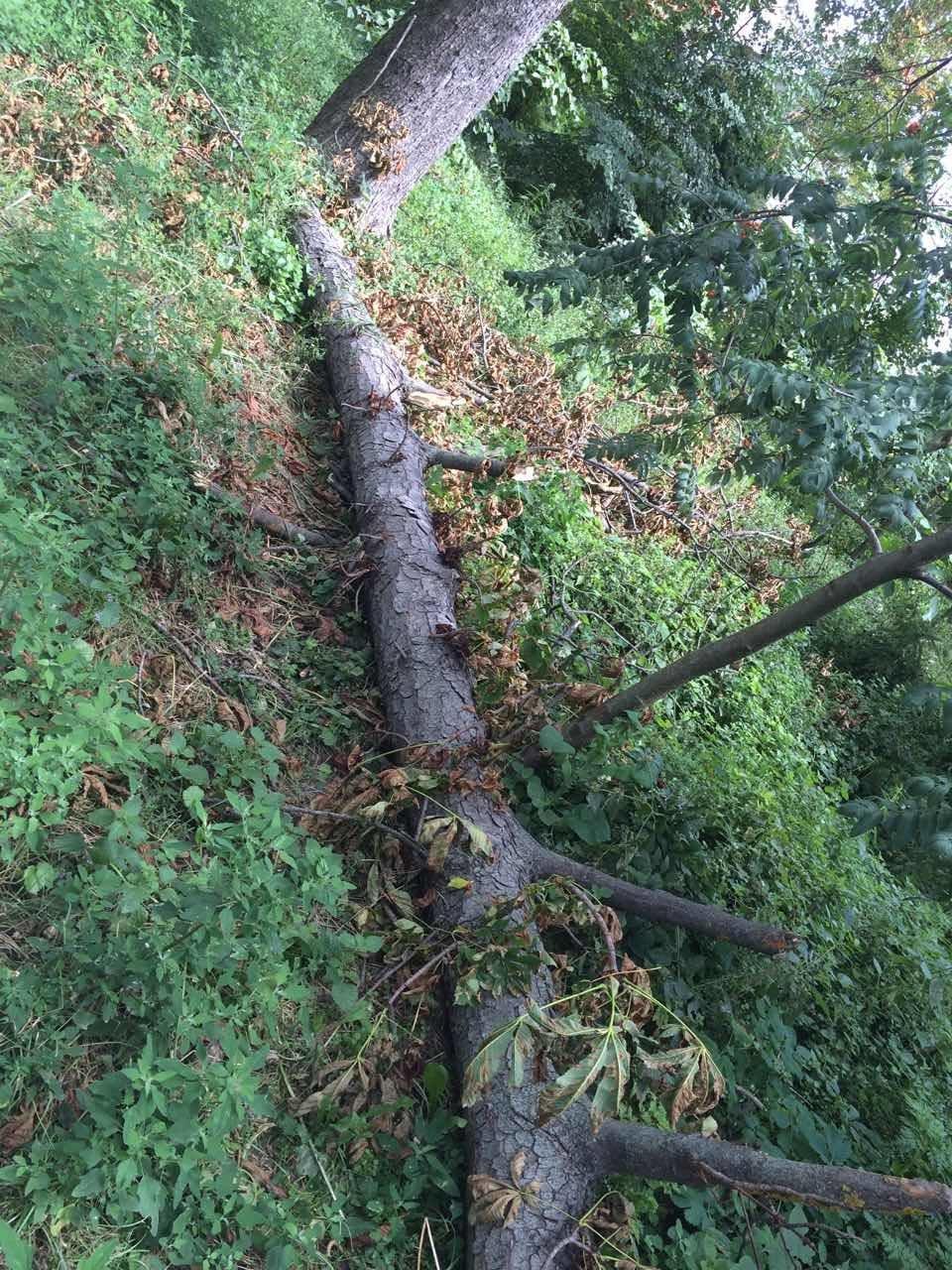 Більшість дерев нашого міста відживають своє, - служба по догляду за зеленими насадженнями, фото-1