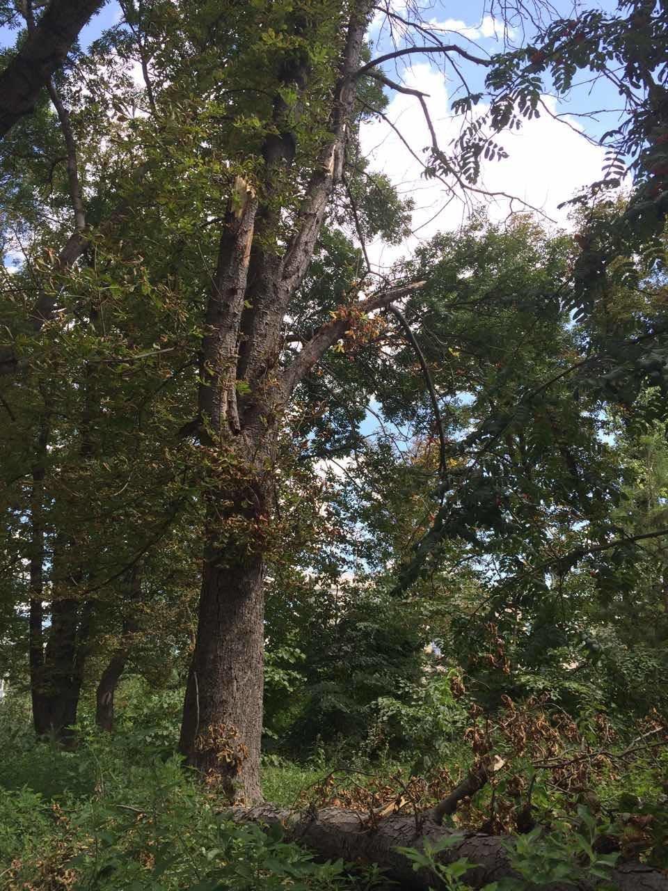 Більшість дерев нашого міста відживають своє, - служба по догляду за зеленими насадженнями, фото-2
