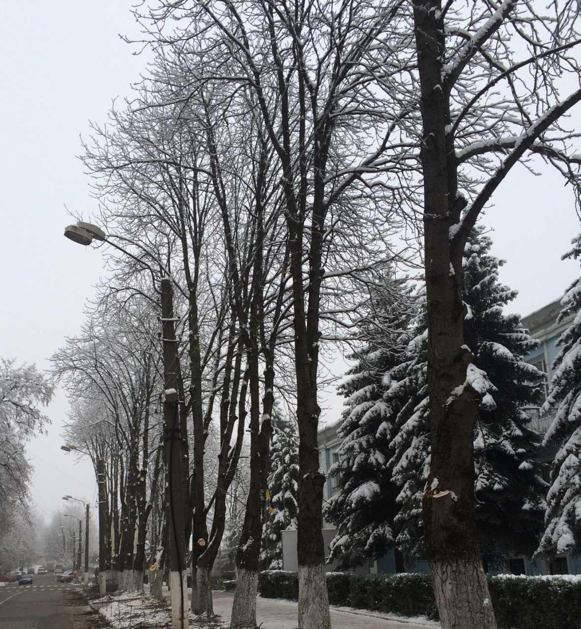 У Кам'янці проводять чистку дерев, фото-6