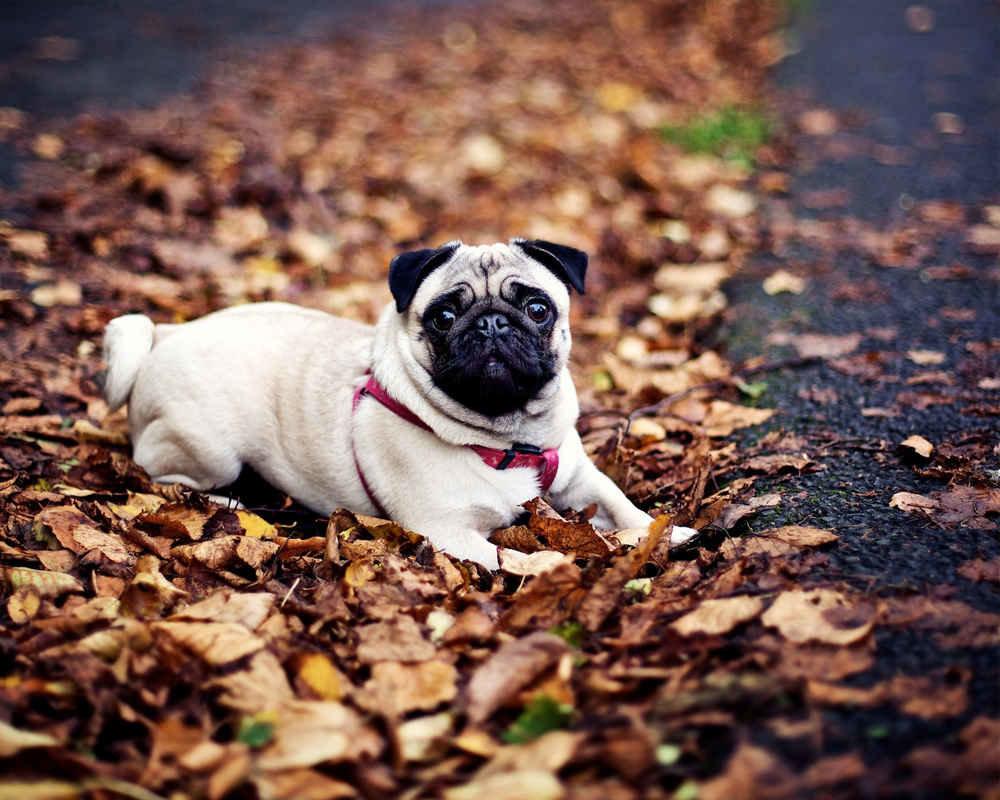 Мопси - собаки, які стануть справжніми друзями для всіх членів сім'ї, фото-2
