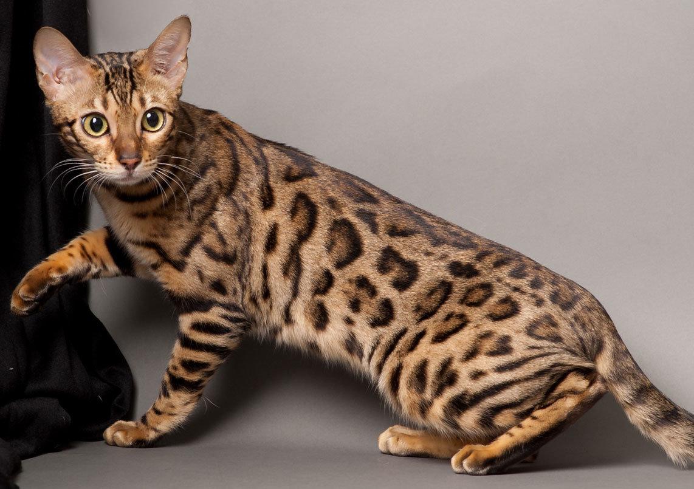 Все про бенгальських котів: особливості догляду і вакцинація , фото-2